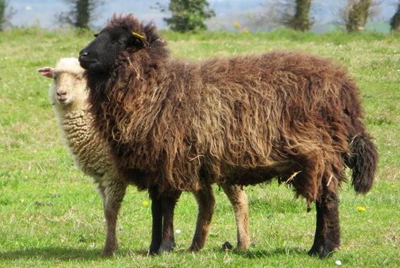 Le berger Urbain travaille avec des moutons de Landes de Bretagne